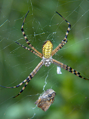 One of two common argiope spiders found locally.
