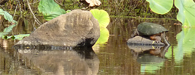 A large Common Snapping Turtle hauled out on a rock. This may be the last chance to catch some rays till next spring.