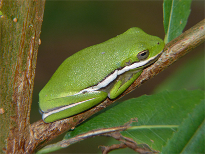 A young Green Treefrog clings to a small branch next to the Wetlands.