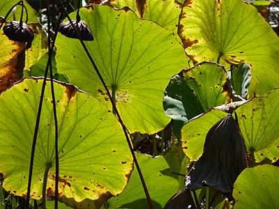 The low autumn sun shines through the fading leaves of lotus.