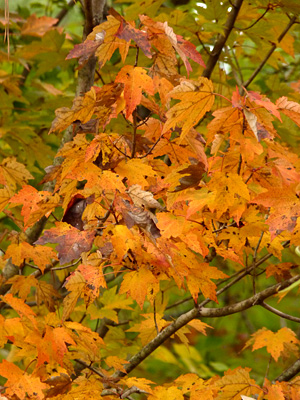 Maple is a favorite of many fall leaf lovers.