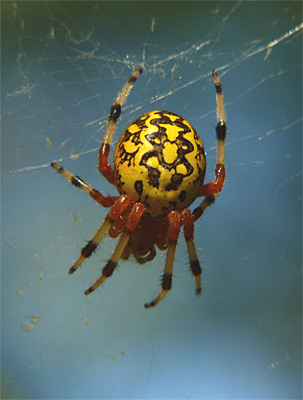 The Marbled Orbweaver (Araneus marmoreus) is found in wooded habitats. It often retreats to a folded leaf at one corner of its web when disturbed.