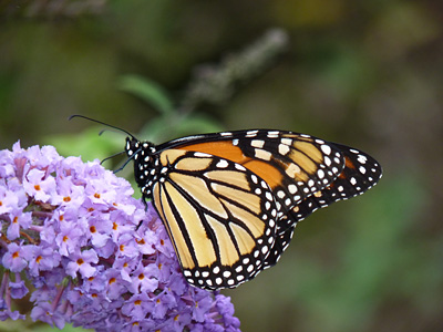 A male Monarch stops to sip nectar from Butterfly Bush before continuing its southward journey. journey to Mexico