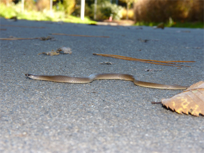 Rough Earth Snake crossing path where it enters Catch the Wind.
