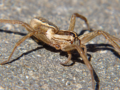 This wolf spider (Lycosidae) is missing two legs.
