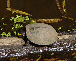 A young Yellow-bellied Turtle soaking up some sun.