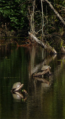 Several large Yellow-bellied Turtles (Sliders) out basking.