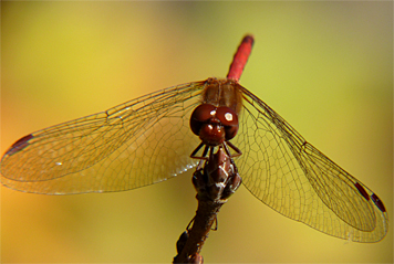 The fall leaves contrast with the bright red abdomen of this male Autumn Meadowhawk.