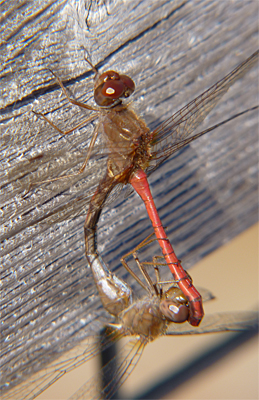 Two meadowhawks in what is called the copulation wheel. The female is less colorful than the male.