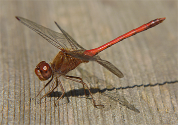Autumn Meadowhawk are late season dragonflies and are not often seen before October.