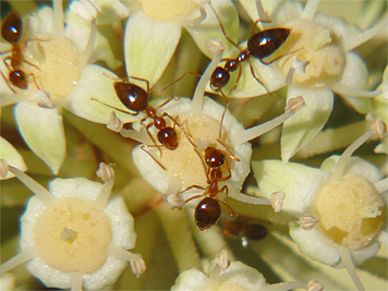 Tiny red ants apparently sipping nectar on Fatsia.