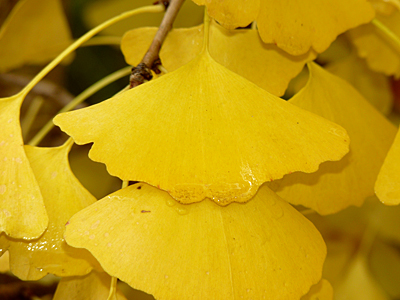 A close-up of the Ginkgo's leaves.