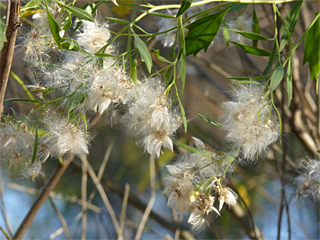 Groundsel Tree's fluffy seeds are disbursed by the wind.