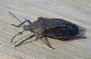 This stinkbug spent the day on the railing leading into the Wetlands, moving only s few inches during the entire day.