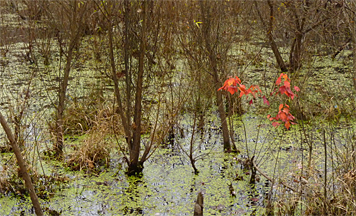 A small maple brightens up the otherwise dark and leafless Wetlands.