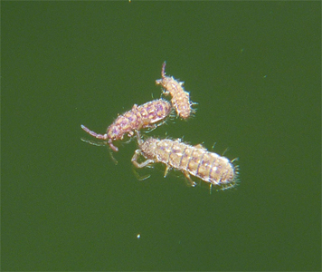 The largest of the three pictured is about 3 mm long.