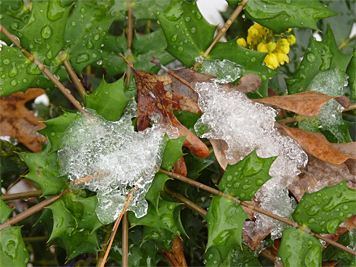 Ice collects on the hardy leaves of Mahonia.