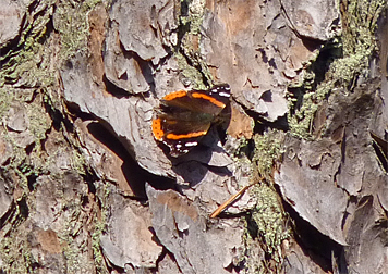 This Red Admiral is one of several butterfly species which may overwinter as an adult, venturing out on relatively warm winter days.