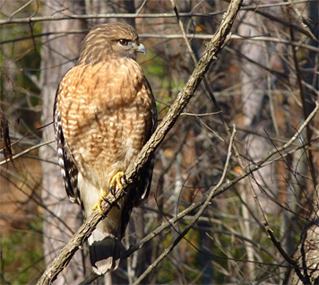 Red-shouldered Hawk silently perched six feet above the waters of the Wetlands.