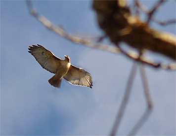 Red-tailed Hawk soaring above the Wetlands.
