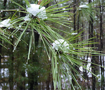 The snow capped branches of a Loblolly Pine.