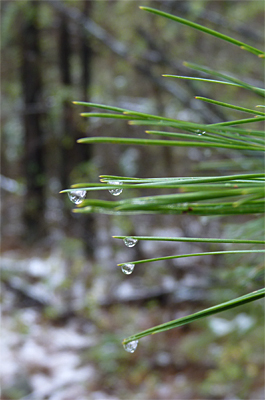 Already beginning to melt, the drips collect on the tips of the pine needles.