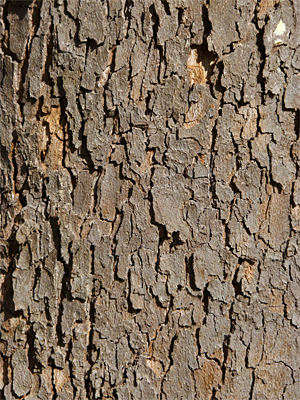Lower Bark