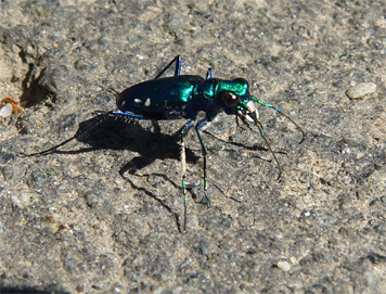 ss tiger beetle