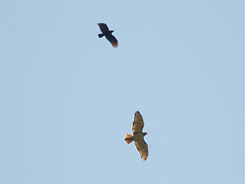 red-tail & crow