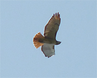red-taled hawk