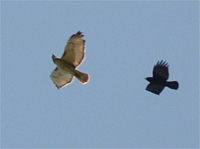 red-tail and crow