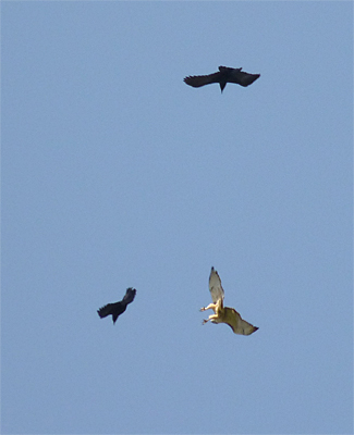 red-tail & crows