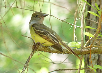 gc flycatcher