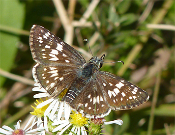 ckeckered skipper