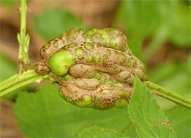 eary gall
