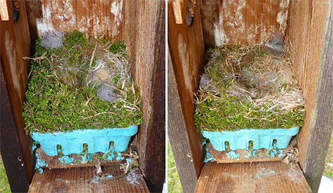 Th Bungee nest looks complete. The female chickadee added more fur and rearranged the nest and it looks ready to go. (3/18/14 left, 3/25/14 right)