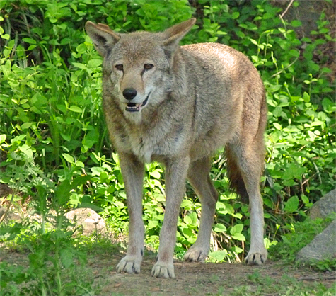 Female Red Wolf #1287.