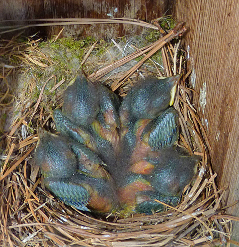 There are clearly four nestlings in the Butterfly House nest (5/13/14).