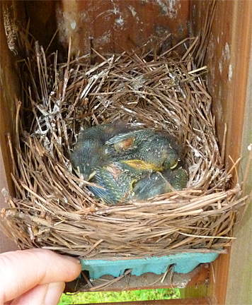 These bluebirds are growing but they've got a ways to go before fledging (5/8/14).