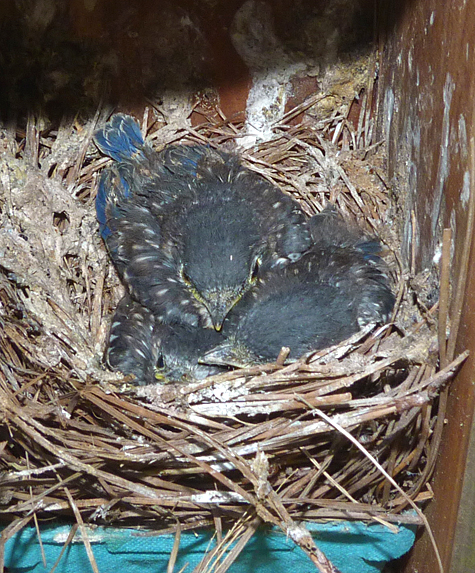 The nest at the Cow Pasture (5/13/14).