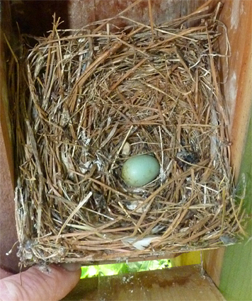 Although the bluebird nestlings that occupied this nest have departed, their would be sibling remained (5/20/14).