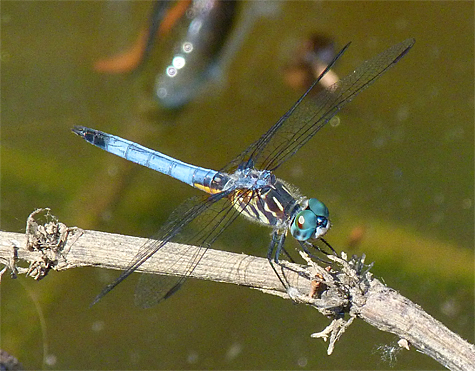 Blue Dasher (male).