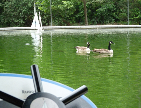 Our summer resident Canada Geese have taken to early morning floats in the Sail Boat Pond.