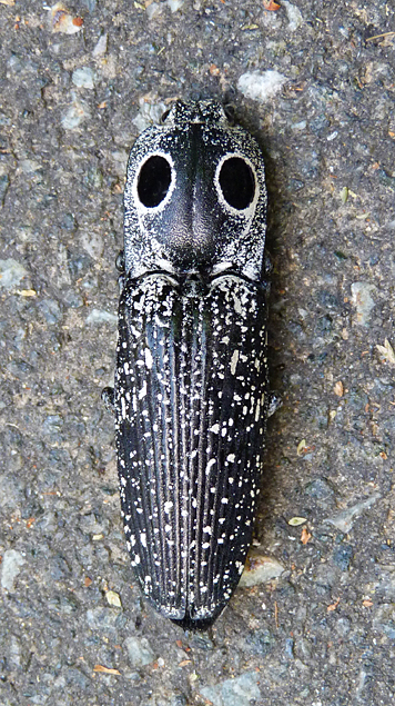 Eyed Click Beetle in possum mode.