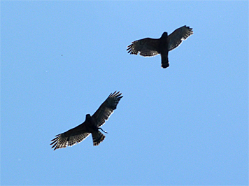 The hawk on the left has a frog in its talons.