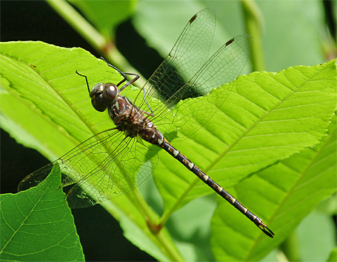 A living, breathing Taper-tailed Darner.