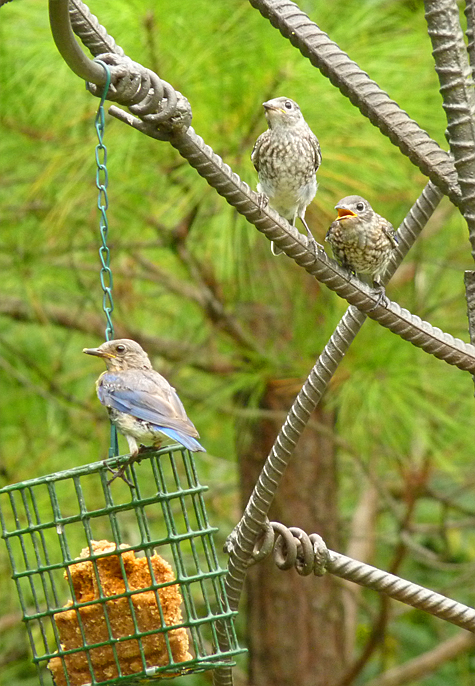 A bluebird family learning the ropes.