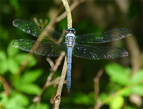 A male Great Blue Skimmer.