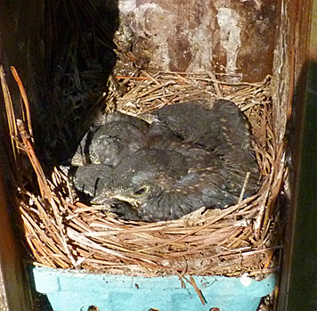 The last active nest is about to be abandoned for the larger world outside (7/29/14).