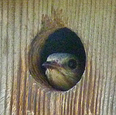 This female must have heard me fumbling with the gate as I approached the nest box at the Butterfly House (7/1/14).